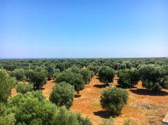 Hav av olivträd